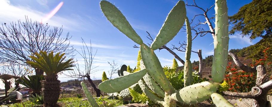 tenerife-cactus