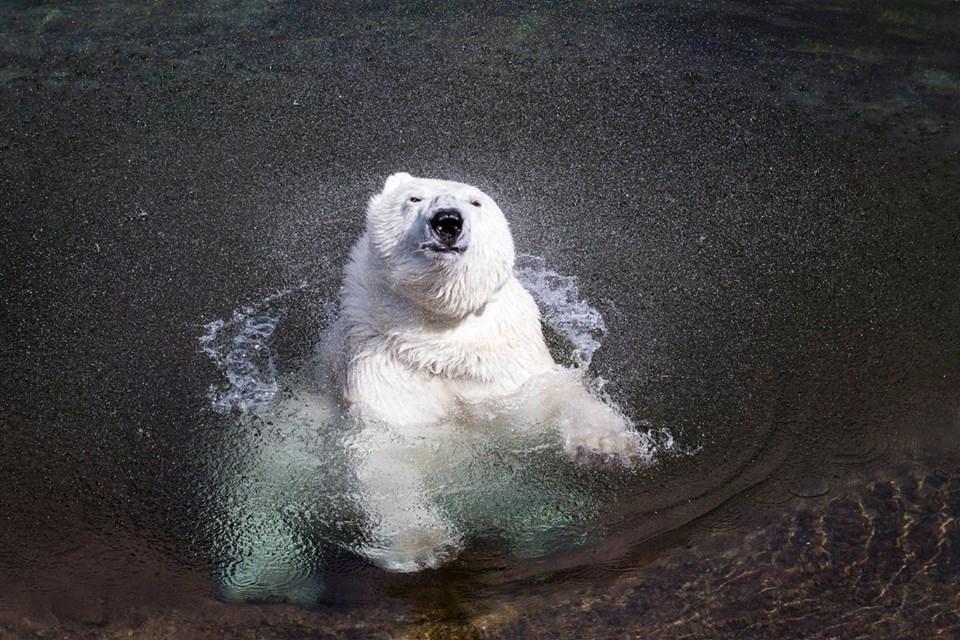Orso bianco nello zoo di Ranua