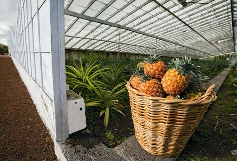 Sao miguel e terceira coltivazione di ananas