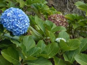Natura alle azzorre le ortensie blu