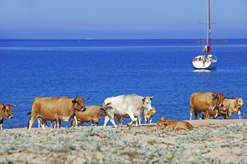 mucche sulla spiaggia domaine murtoli