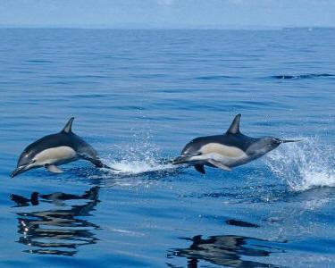 azzorre-delfini